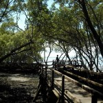 mangroves. boardwalk.