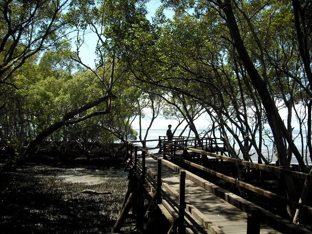 mangroves. boardwalk.