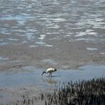 Swamp. ibis.