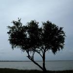 Tree at Deception Bay