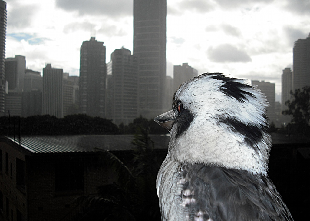 Kookaburra looking at Brisbane CBD