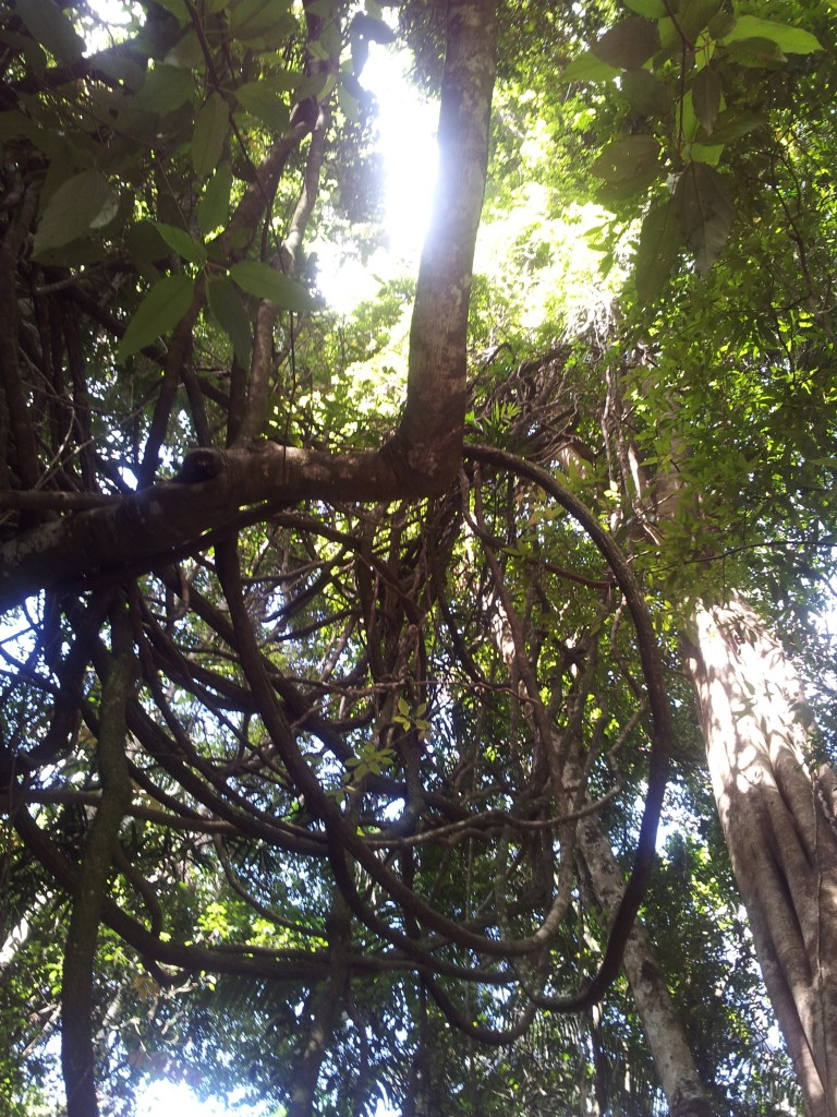 Rainforest lianas