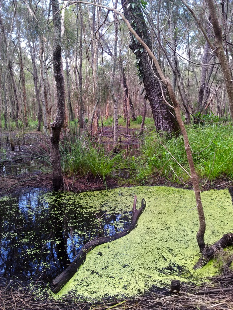 Duckweed in swamp