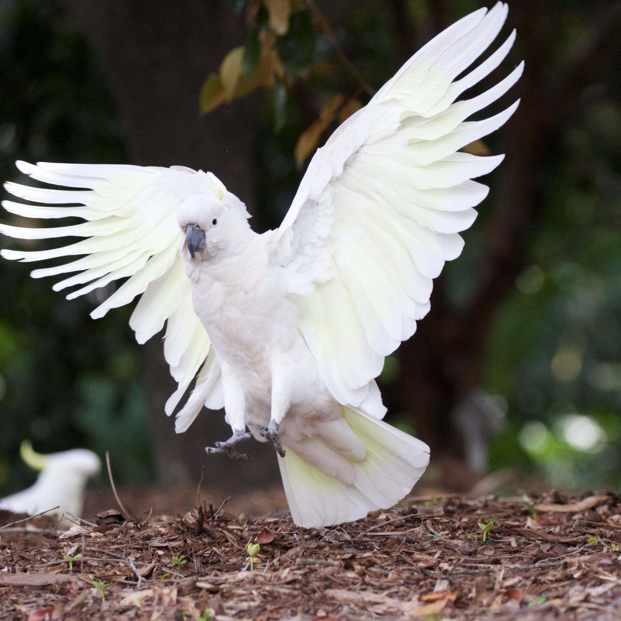 Cockatoo wings spread