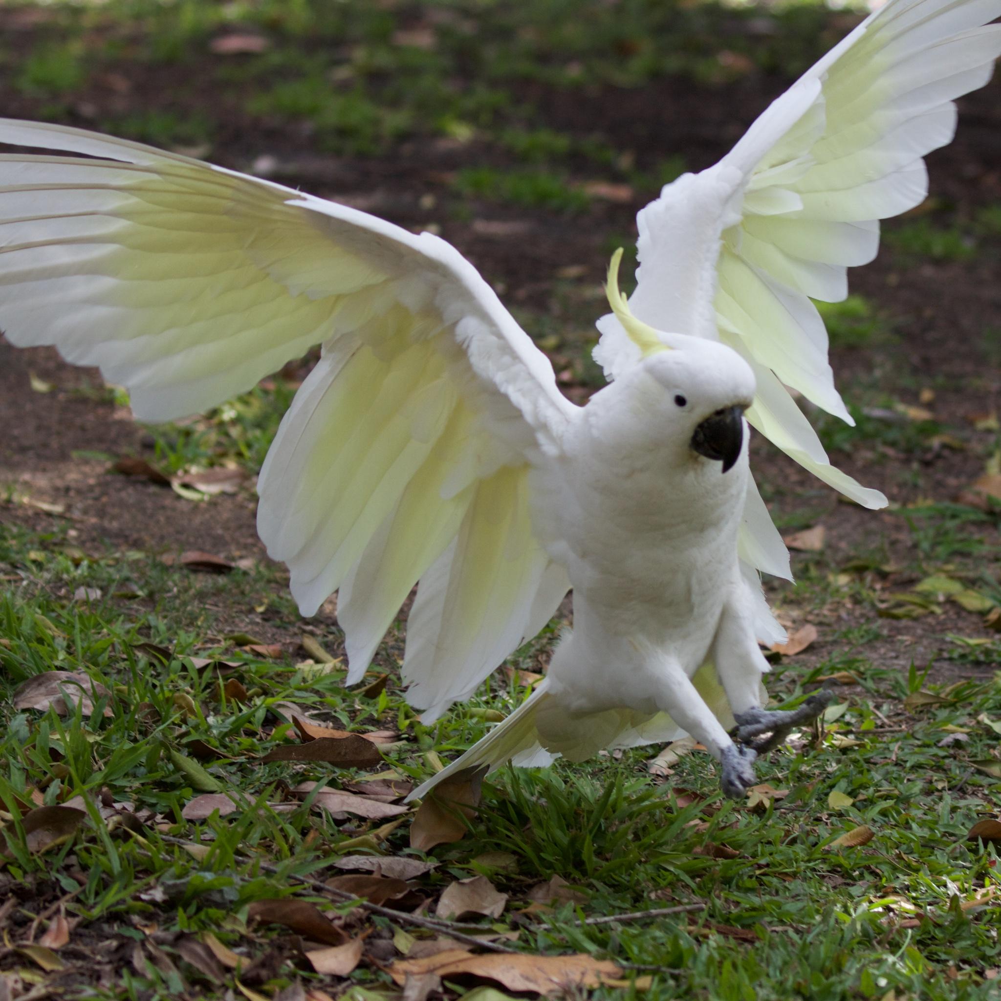 Cockatoo landing