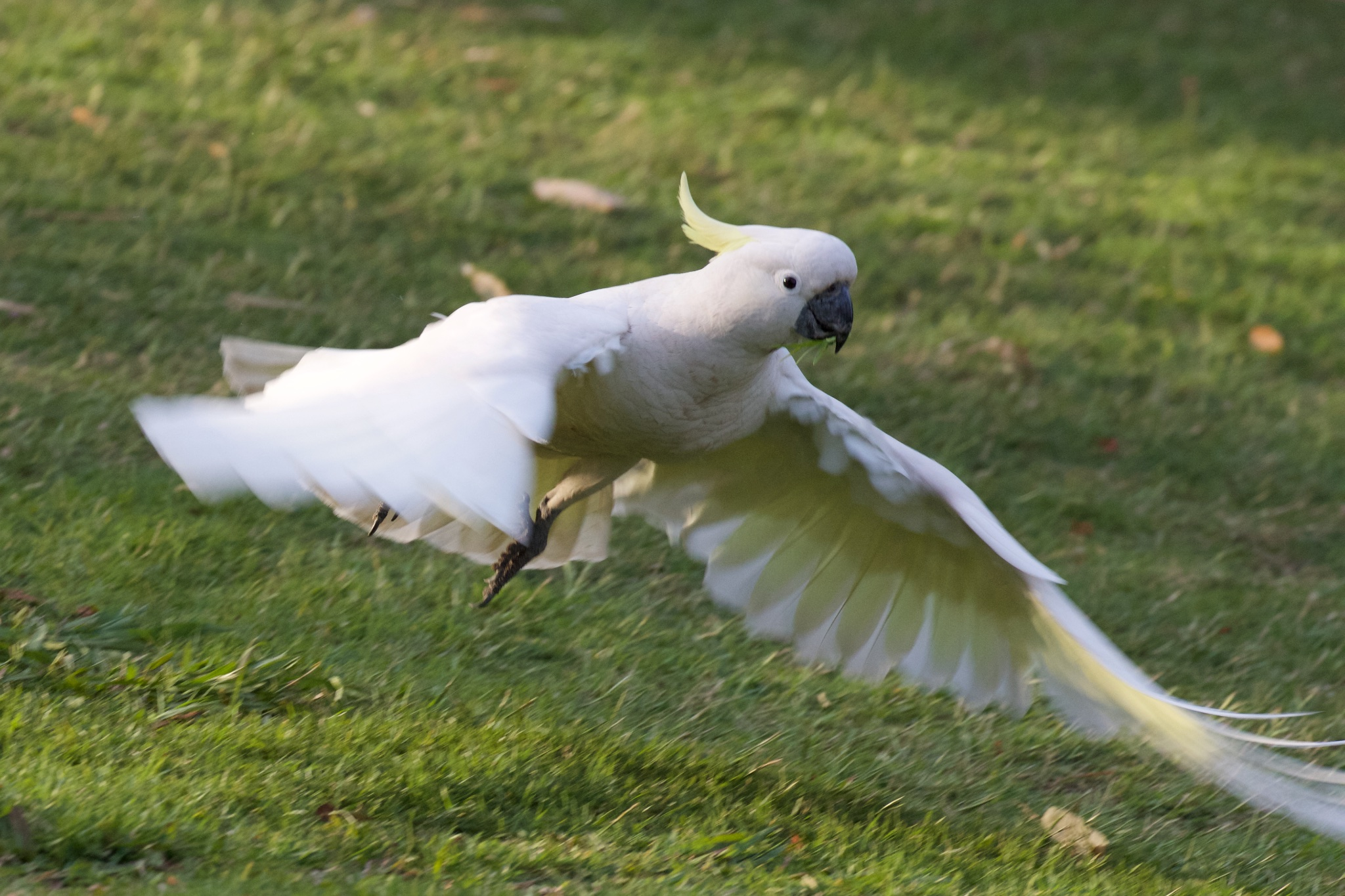 Cockatoo taking off