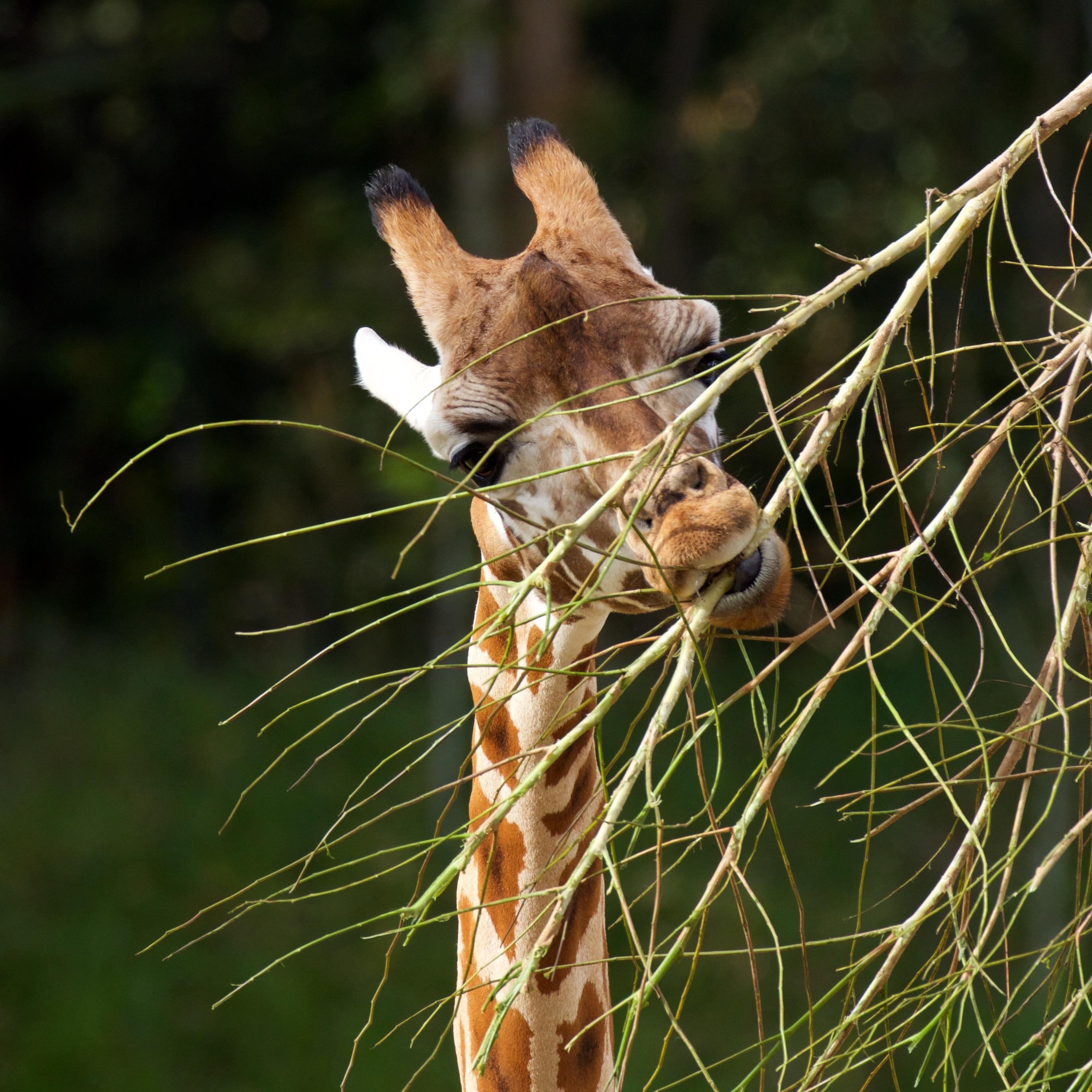 Giraffe nibbling bare branches