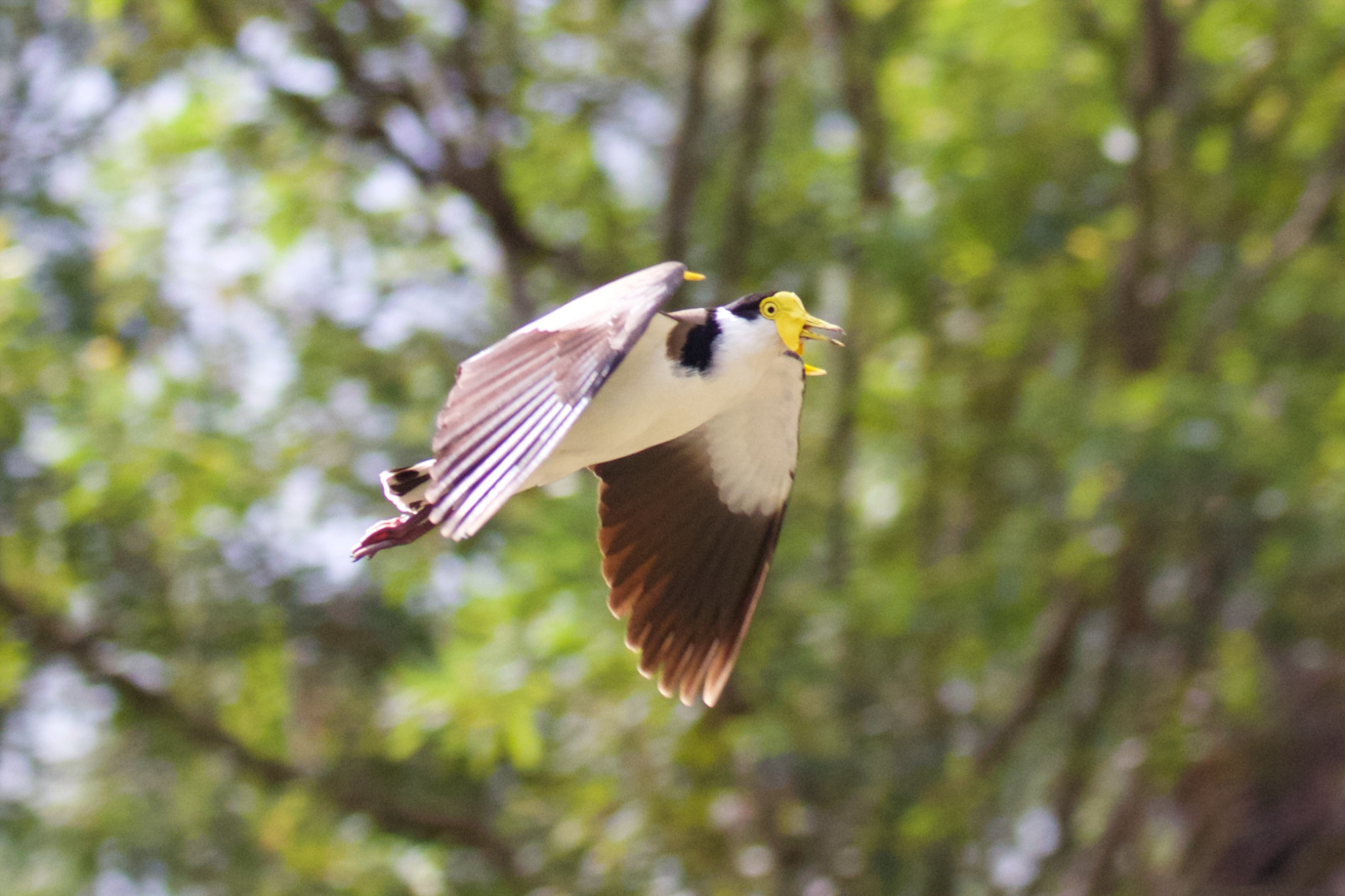 Masked Lapwing in flight