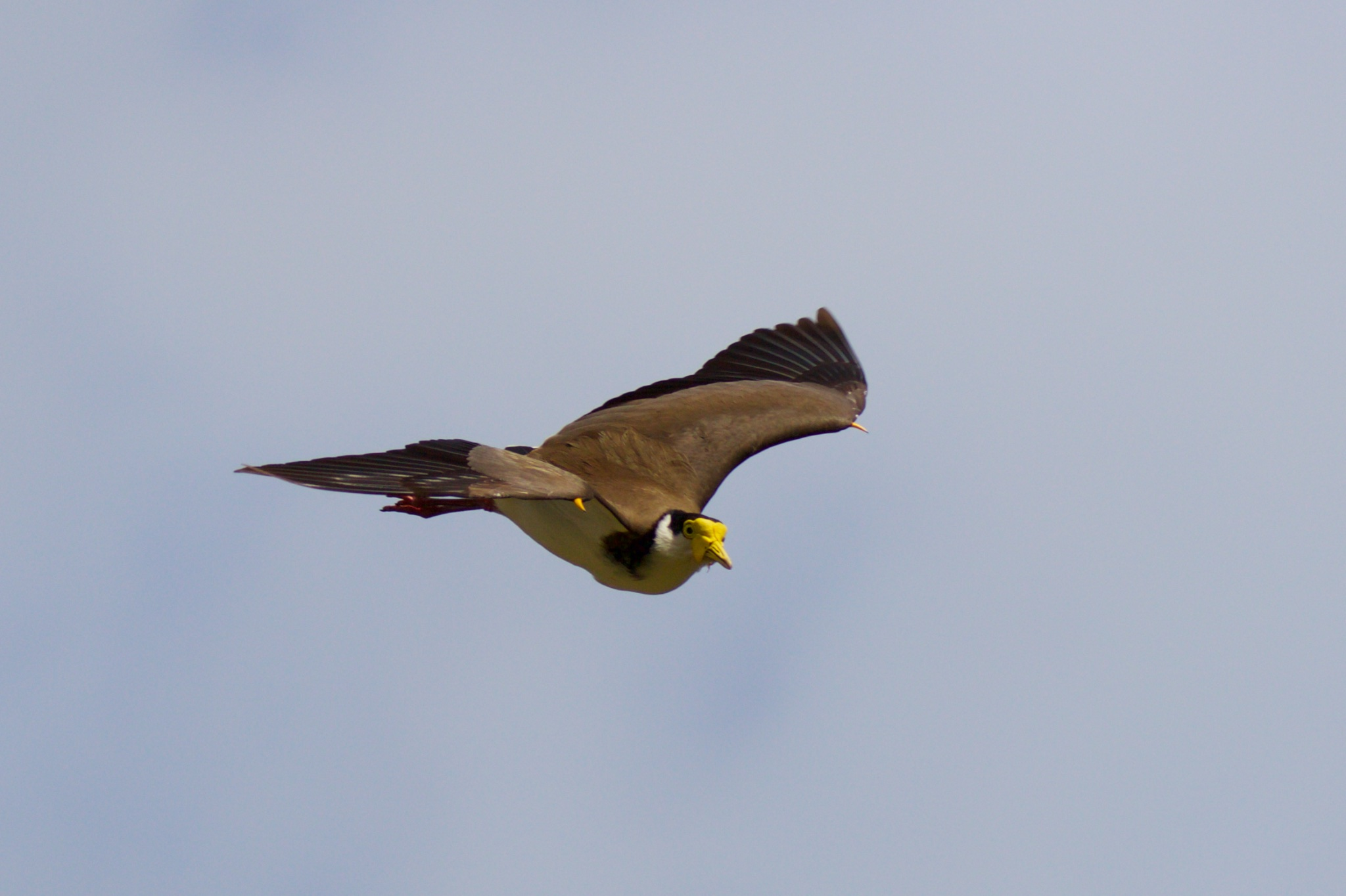 Masked Lapwing swooping