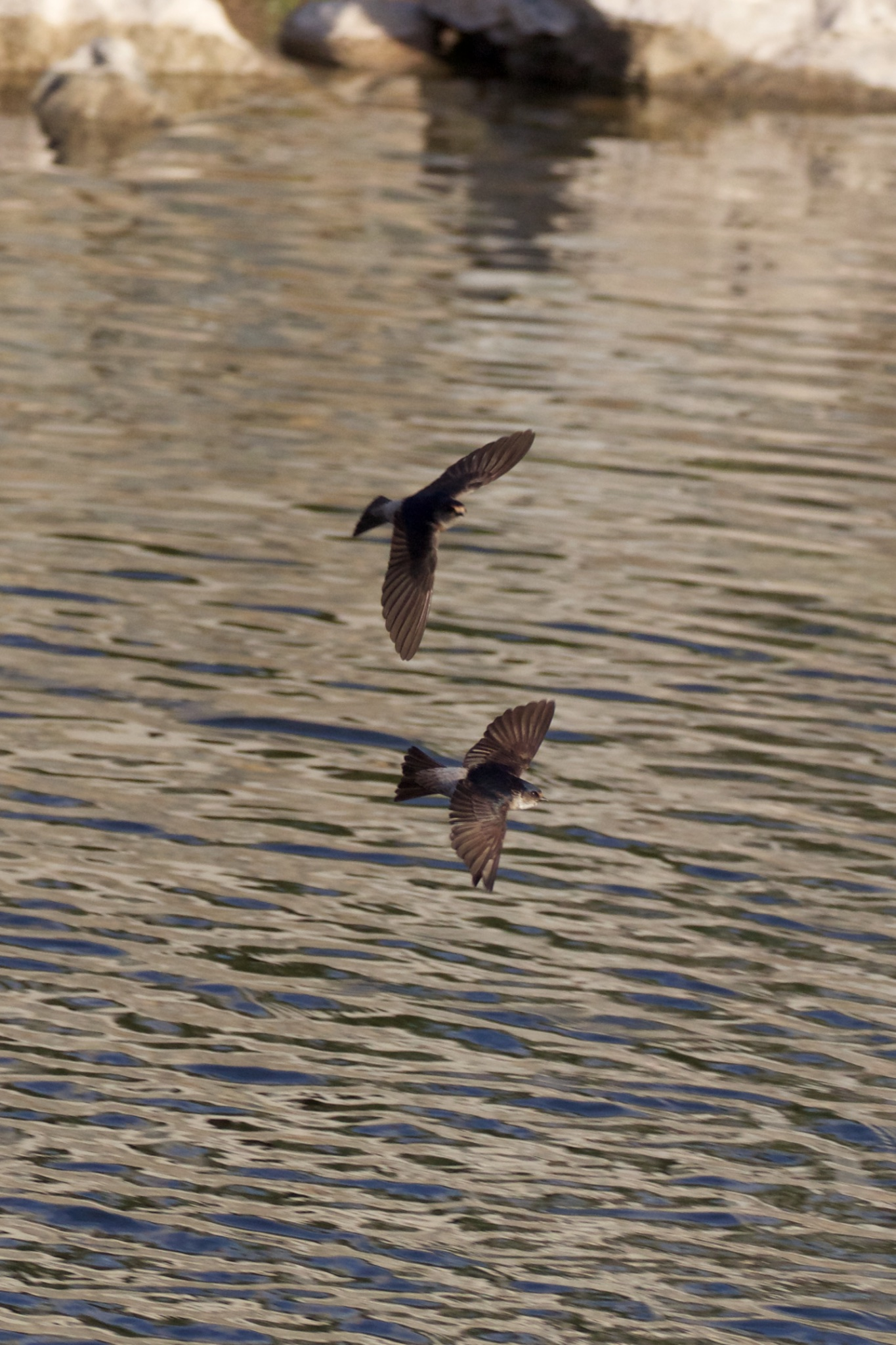 Swifts over water