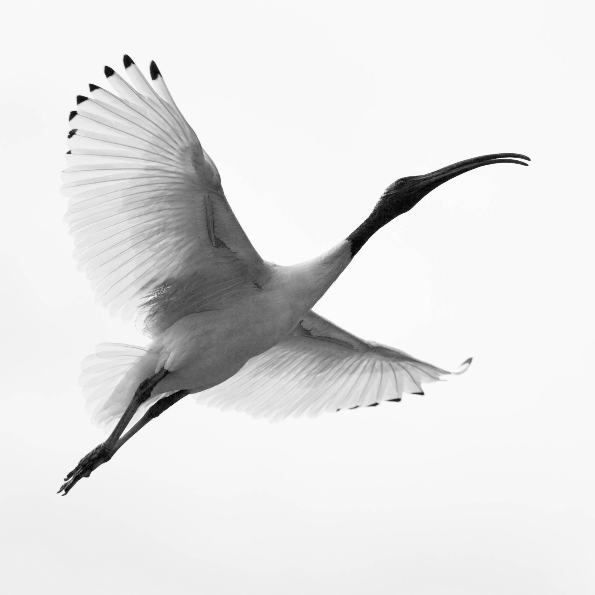 White Ibis black and white