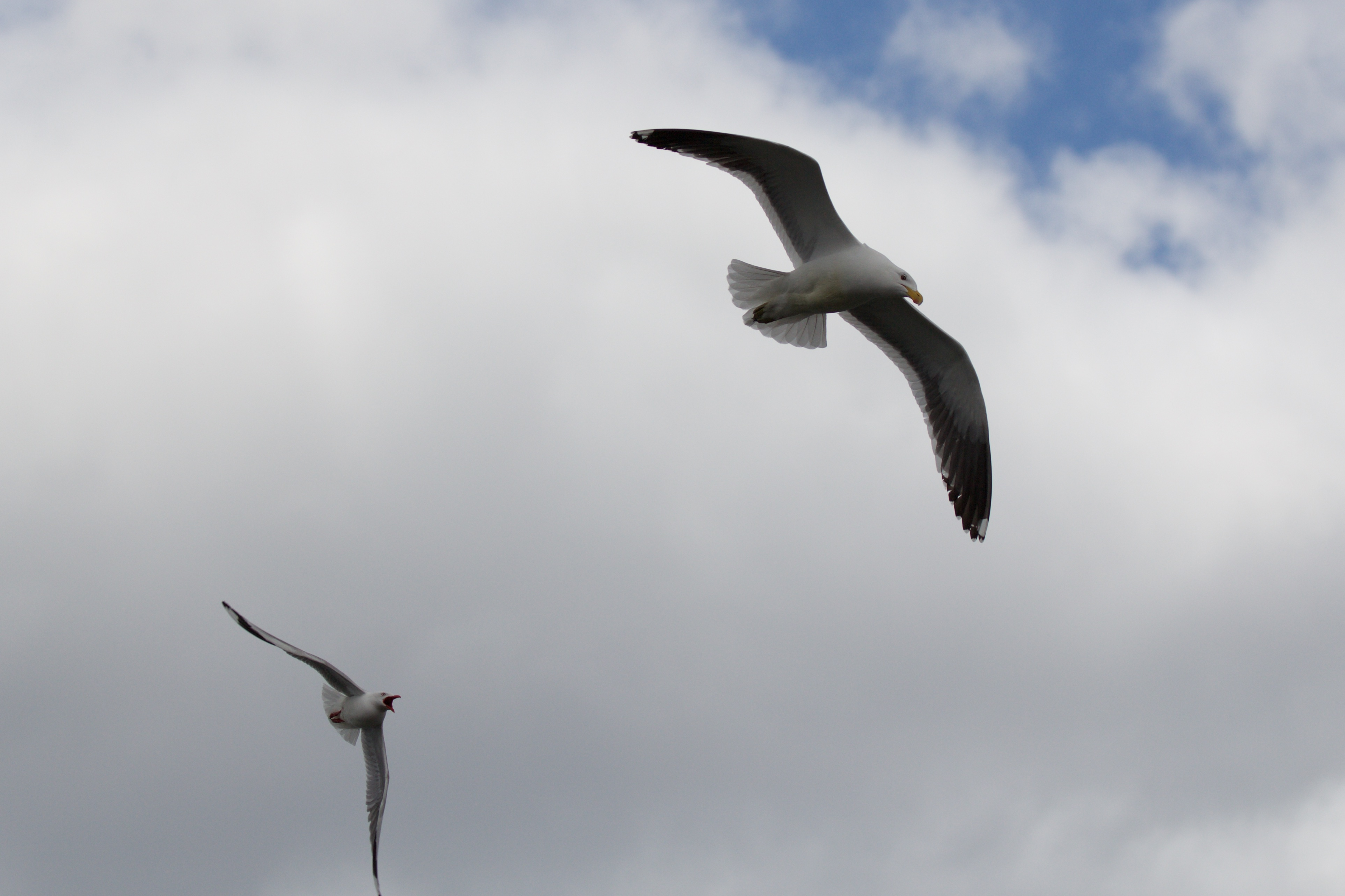 Black-backed gull chased by red-billed gull