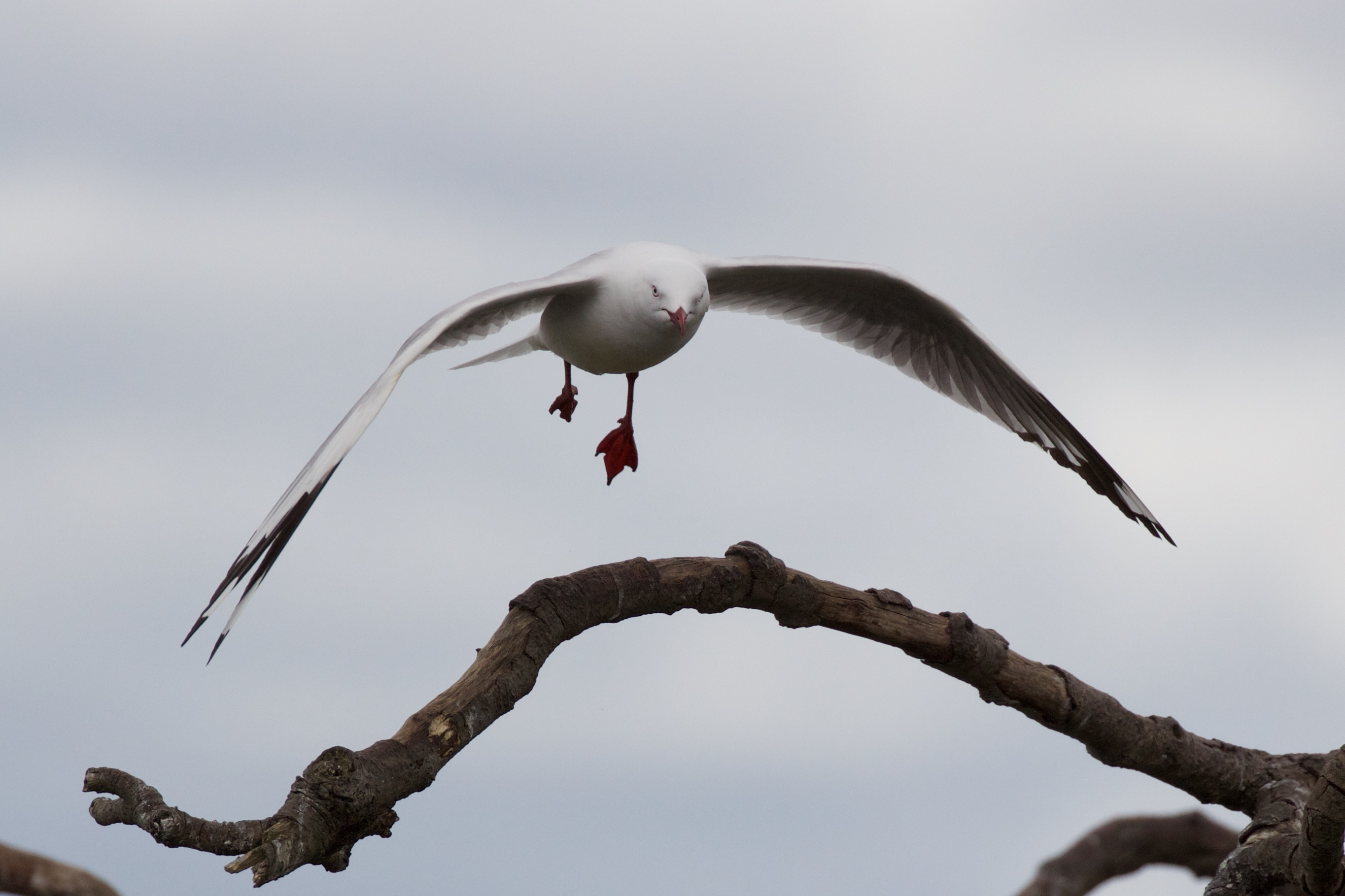 Red Billed Gull Landing on Branch
